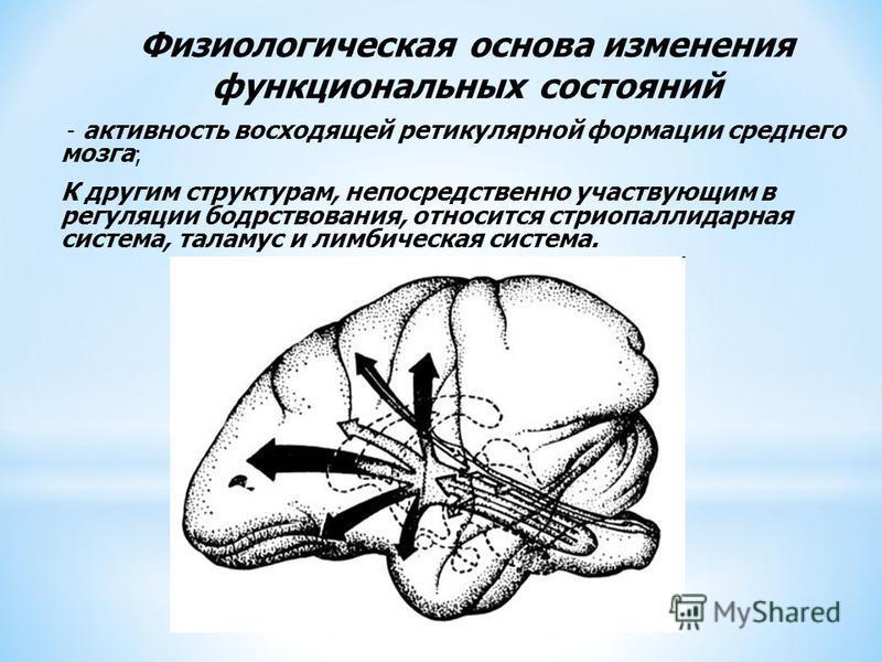 Физиологическая основа изменения функциональных состояний - активность восходящей ретикулярной формации среднего мозга ; К другим структурам, непосредственно участвующим в регуляции бодрствования, относится стриопаллидарная система, таламус и лимбиче