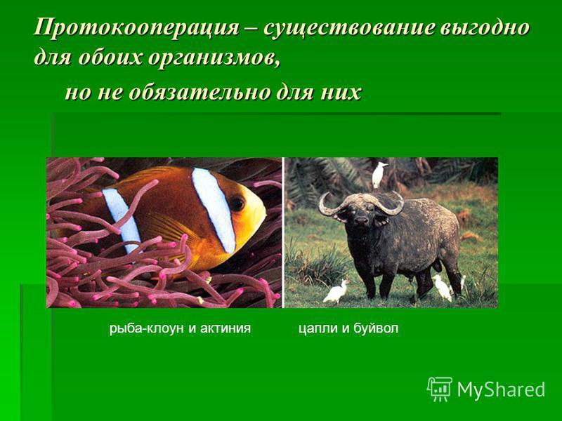 Протокооперация – существование выгодно для обоих организмов, но не обязательно для них рыба-клоун и актиния цапли и буйвол