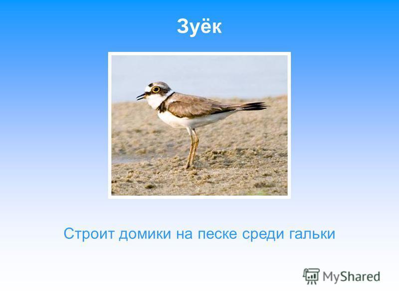 Чеглок - Сокол