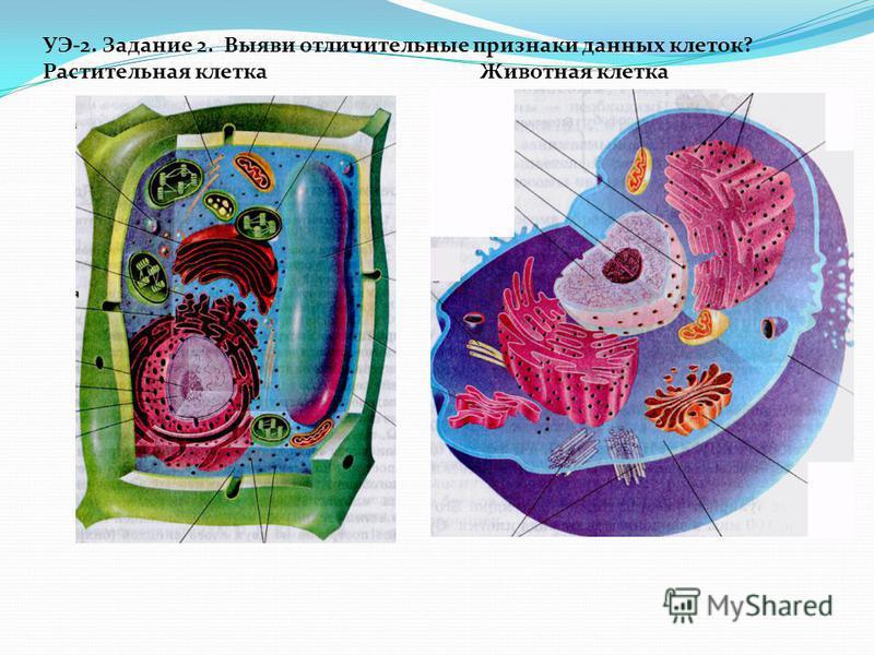 УЭ-2. Задание 2. Выяви отличительные признаки данных клеток? Растительная клетка Животная клетка