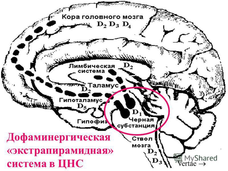 Дофаминергическая «экстрапирамидная» система в ЦНС Vertae
