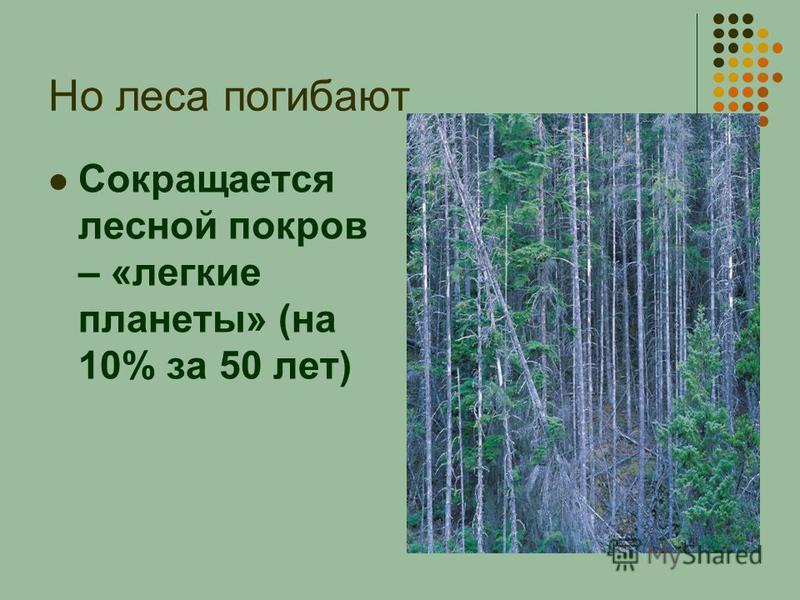 Но леса погибают Сокращается лесной покров – «легкие планеты» (на 10% за 50 лет)