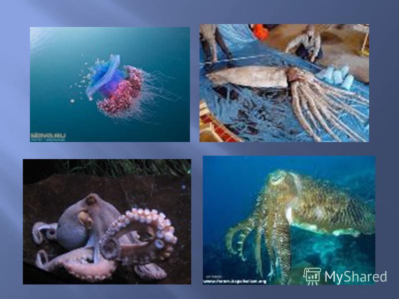 По принципу реактивного движения передвигаются некоторые представители животного мира, например, кальмары и осьминоги. Периодически выбрасывая, вбираемую в себя воду они способны развивать скорость 60 - 70 км / ч. Недаром кальмара называют живой торп