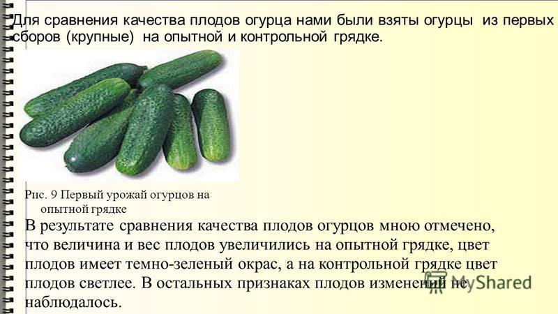 Рис. 9 Первый урожай огурцов на опытной грядке В результате сравнения качества плодов огурцов мною отмечено, что величина и вес плодов увеличились на опытной грядке, цвет плодов имеет темно-зеленый окрас, а на контрольной грядке цвет плодов светлее.