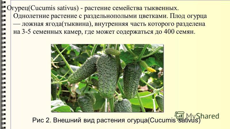 Огурец(Cucumis sativus) - растение семейства тыквенных. Однолетние растение с раздельнополыми цветками. Плод огурца ложная ягода(тыквина), внутренняя часть которого разделена на 3-5 семенных камер, где может содержаться до 400 семян. Рис 2. Внешний в