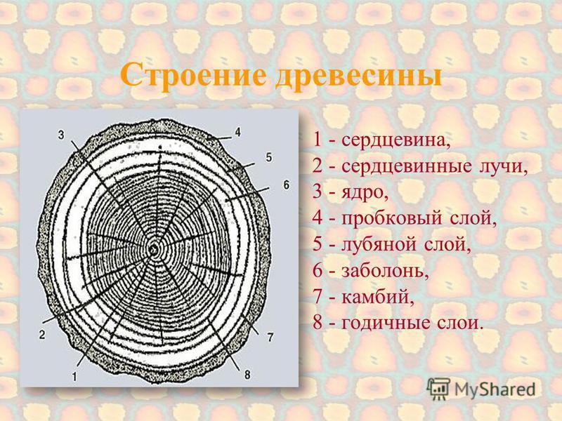 Строение древесины 1 - сердцевина, 2 - сердцевинные лучи, 3 - ядро, 4 - пробковый слой, 5 - лубяной слой, 6 - заболонь, 7 - камбий, 8 - годичные слои.