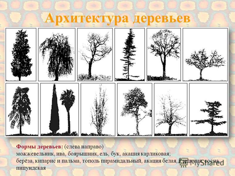 Архитектура деревьев Формы деревьев: (слева направо) можжевельник, ива, боярышник, ель, бук, акация карликовая; берёза, кипарис и пальма, тополь пирамидальный, акация белая, гледичия, сосна пицундская