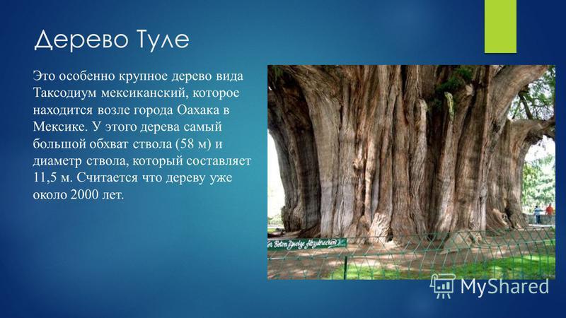 Дерево Туле Это особенно крупное дерево вида Таксодиум мексиканский, которое находится возле города Оахака в Мексике. У этого дерева самый большой обхват ствола (58 м) и диаметр ствола, который составляет 11,5 м. Считается что дереву уже около 2000 л