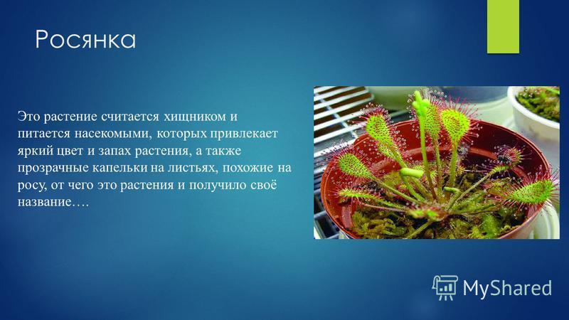 Росянка Это растение считается хищником и питается насекомыми, которых привлекает яркий цвет и запах растения, а также прозрачные капельки на листьях, похожие на росу, от чего это растения и получило своё название….
