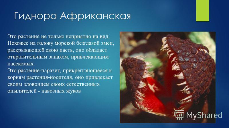 Гиднора Африканская Это растение не только неприятно на вид. Похожее на голову морской безглазой змеи, раскрывающей свою пасть, оно обладает отвратительным запахом, привлекающим насекомых. Это растение-паразит, прикрепляющееся к корням растения-носит