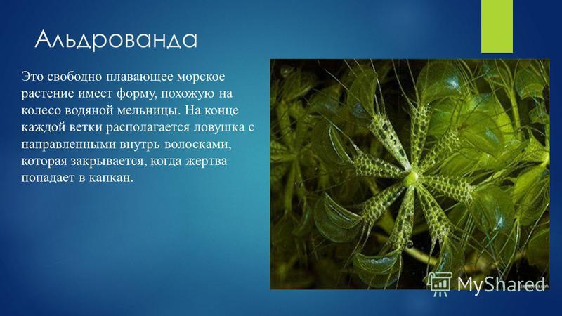 Альдрованда Это свободно плавающее морское растение имеет форму, похожую на колесо водяной мельницы. На конце каждой ветки располагается ловушка с направленными внутрь волосками, которая закрывается, когда жертва попадает в капкан.