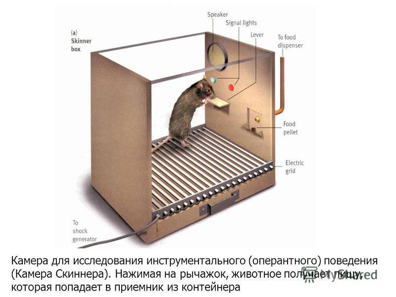 Камера для исследования инструментального (оперантного) поведения (Камера Скиннера). Нажимая на рычажок, животное получает пищу, которая попадает в приемник из контейнера