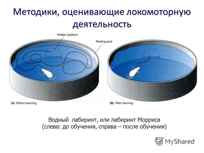 Водный лабиринт, или лабиринт Морриса (слева: до обучения, справа – после обучения) Методики, оценивающие локомоторную деятельность