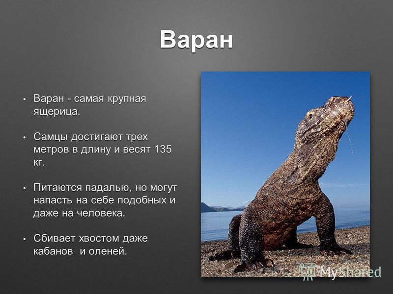 Варан Варан - самая крупная ящерица. Варан - самая крупная ящерица. Самцы достигают трех метров в длину и весят 135 кг. Самцы достигают трех метров в длину и весят 135 кг. Питаются падалью, но могут напасть на себе подобных и даже на человека. Питают