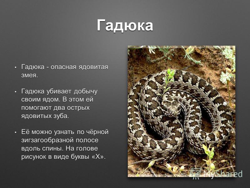 Гадюка Гадюка - опасная ядовитая змея. Гадюка - опасная ядовитая змея. Гадюка убивает добычу своим ядом. В этом ей помогают два острых ядовитых зуба. Гадюка убивает добычу своим ядом. В этом ей помогают два острых ядовитых зуба. Её можно узнать по чё