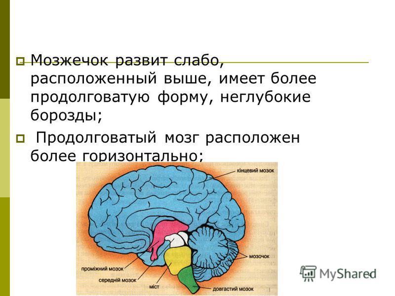 4 Мозжечок развит слабо, расположенный выше, имеет более продолговатую форму, неглубокие борозды; Продолговатый мозг расположен более горизонтально;