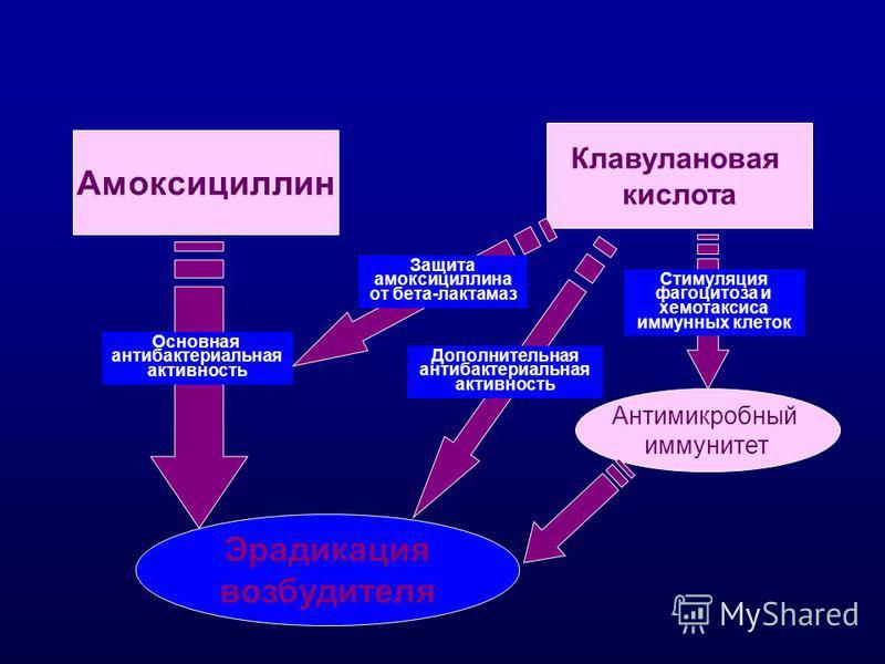 Амоксициллин Основная антибактериальная активность Клавулановая кислота Защита амоксициллина от бета-лактамаз Дополнительная антибактериальная активность Стимуляция фагоцитоза и хемотаксиса иммунных клеток Антимикробный иммунитет Эрадикация возбудите