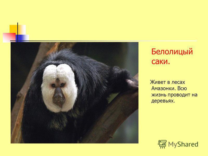 Белолицый саки. Живет в лесах Амазонки. Всю жизнь проводит на деревьях.