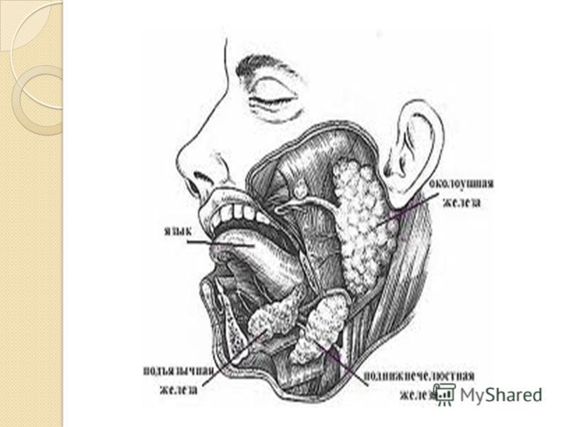 Слюна́ (лат. saliva) секрет слюнных желез прозрачная бесцветная жидкость, жидкая биологическая среда организма выделяемая в полость рта тремя парами крупных слюнных желез (подчелюстные, околоушные, подъязычные) и множеством мелких слюнных желез полос