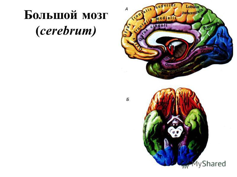 Большой мозг (cerebrum)