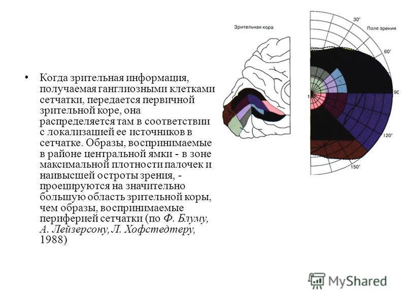 Когда зрительная информация, получаемая ганглиозными клетками сетчатки, передается первичной зрительной коре, она распределяется там в соответствии с локализацией ее источников в сетчатке. Образы, воспринимаемые в районе центральной ямки - в зоне мак