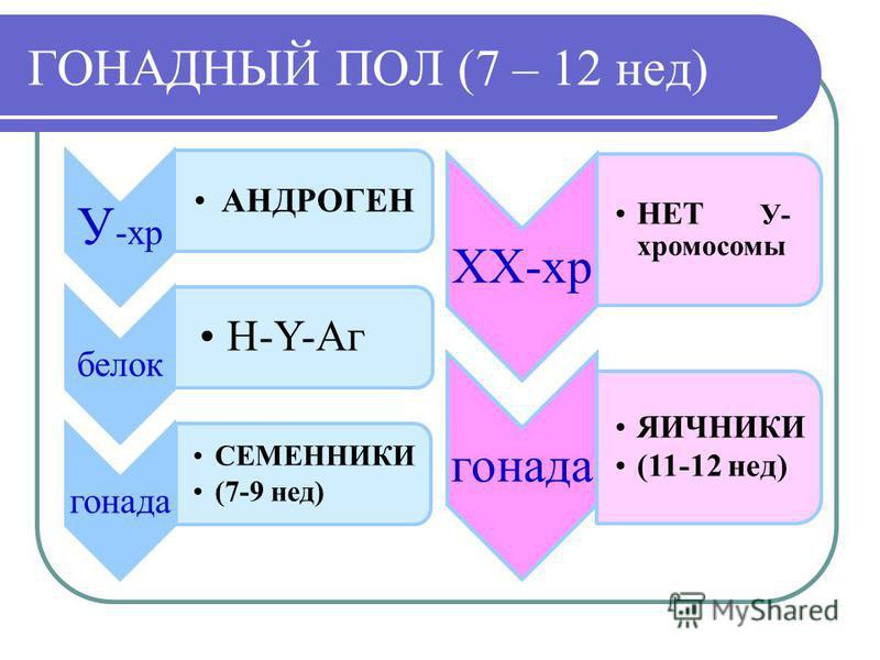 ГОНАДНЫЙ ПОЛ (7 – 12 нед) У -хр АНДРОГЕН белок H-Y-Aг гонада СЕМЕННИКИ (7-9 нед) ХХ-хр НЕТ У- хромосомы гонада ЯИЧНИКИ (11-12 нед)