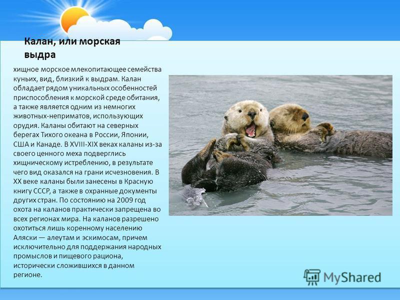 Калан, или морская выдра хищное морское млекопитающее семейства куньих, вид, близкий к выдрам. Калан обладает рядом уникальных особенностей приспособления к морской среде обитания, а также является одним из немногих животных-неприматов, использующих