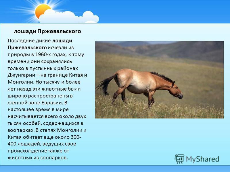 лошади Пржевальского Последние дикие лошади Пржевальского исчезли из природы в 1960-х годах, к тому времени они сохранялись только в пустынных районах Джунгарии – на границе Китая и Монголии. Но тысячу и более лет назад эти животные были широко распр