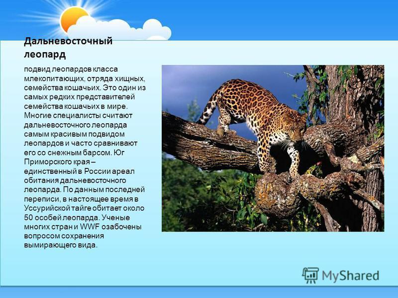 Дальневосточный леопард подвид леопардов класса млекопитающих, отряда хищных, семейства кошачьих. Это один из самых редких представителей семейства кошачьих в мире. Многие специалисты считают дальневосточного леопарда самым красивым подвидом леопардо