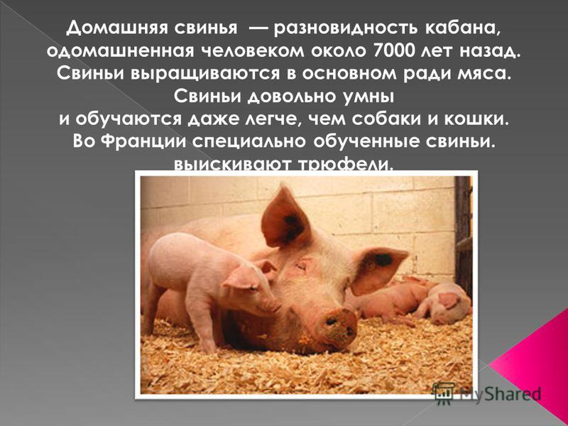 Домашняя свинья разновидность кабана, одомашненная человеком около 7000 лет назад. Свиньи выращиваются в основном ради мяса. Свиньи довольно умны и обучаются даже легче, чем собаки и кошки. Во Франции специально обученные свиньи. выискивают трюфели.