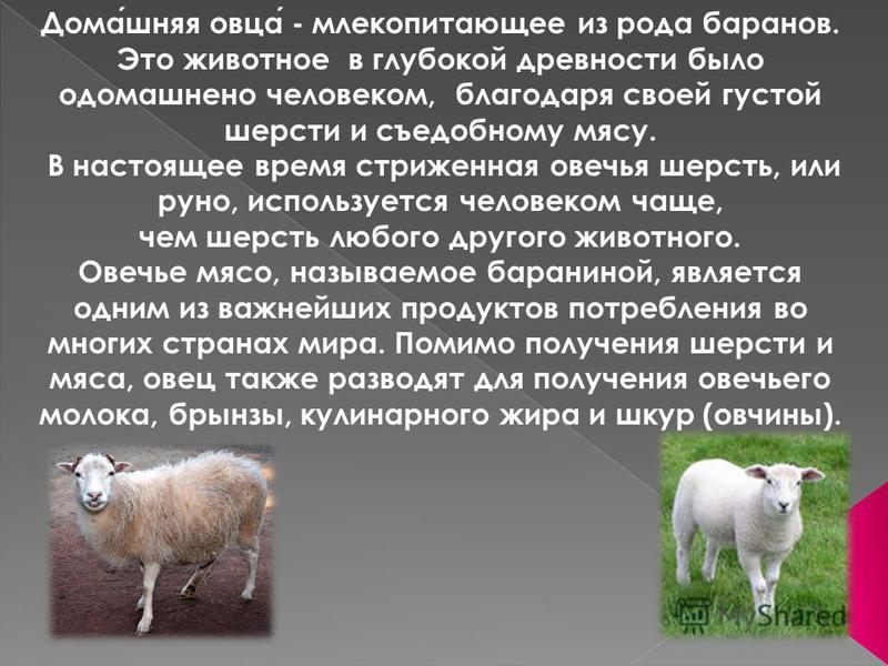 Домашняя овца - млекопитающее из рода баранов. Это животное в глубокой древности было одомашнено человеком, благодаря своей густой шерсти и съедобному мясу. В настоящее время стриженная овечья шерсть, или руно, используется человеком чаще, чем шерсть