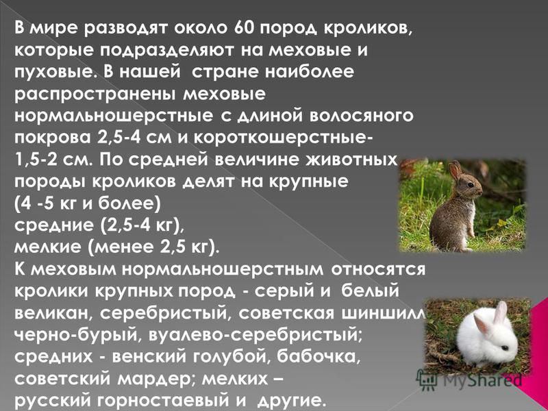 В мире разводят около 60 пород кроликов, которые подразделяют на меховые и пуховые. В нашей стране наиболее распространены меховые нормально шерстные с длиной волосяного покрова 2,5-4 см и короткошерстные- 1,5-2 см. По средней величине животных пород