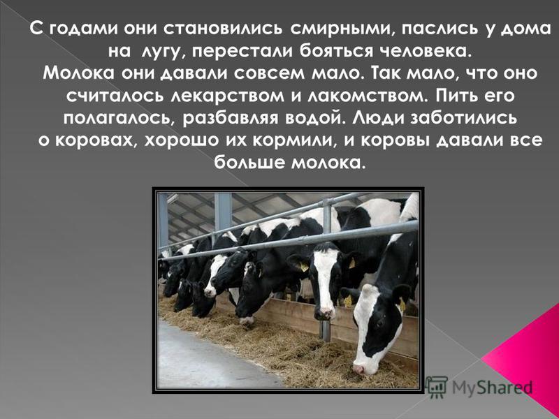 С годами они становились смирными, паслись у дома на лугу, перестали бояться человека. Молока они давали совсем мало. Так мало, что оно считалось лекарством и лакомством. Пить его полагалось, разбавляя водой. Люди заботились о коровах, хорошо их корм