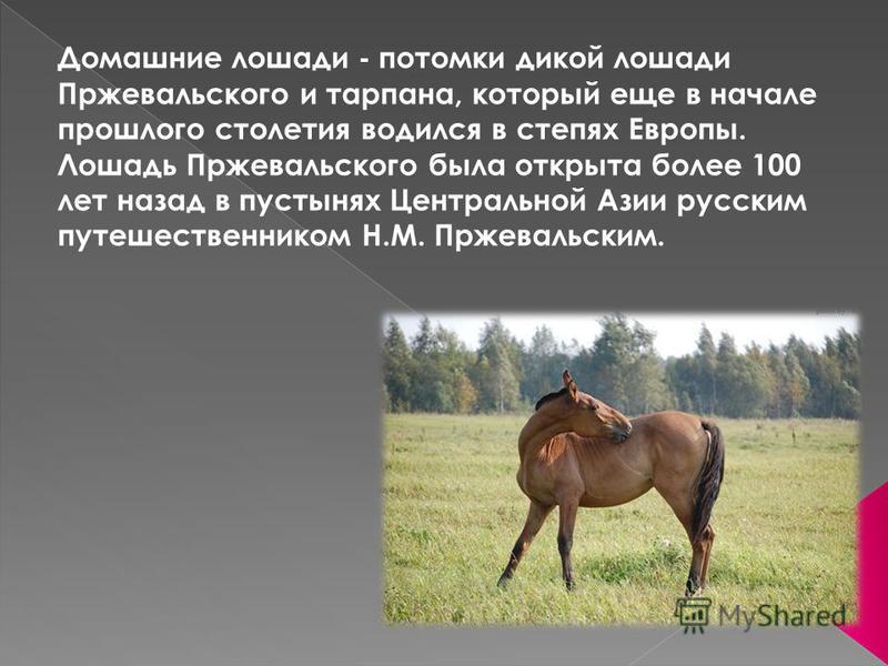 Домашние лошади - потомки дикой лошади Пржевальского и тарпана, который еще в начале прошлого столетия водился в степях Европы. Лошадь Пржевальского была открыта более 100 лет назад в пустынях Центральной Азии русским путешественником Н.М. Пржевальск