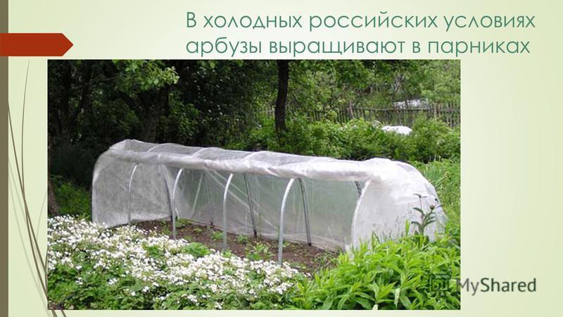 В холодных российских условиях арбузы выращивают в парниках