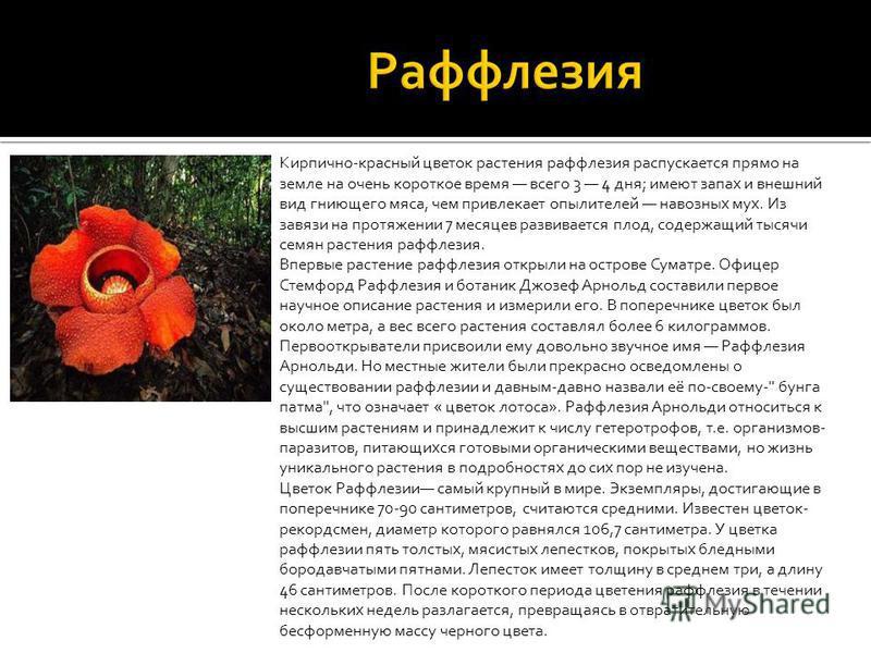 Кирпично-красный цветок растения раффлезия распускается прямо на земле на очень короткое время всего 3 4 дня; имеют запах и внешний вид гниющего мяса, чем привлекает опылителей навозных мух. Из завязи на протяжении 7 месяцев развивается плод, содержа