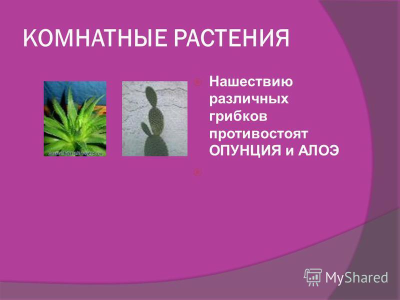 КОМНАТНЫЕ РАСТЕНИЯ МИРТ - растение с общей площадью листьев в полтора квадратных метра убивает половину патогенной микрофлоры в помещении до 100 кубических метров