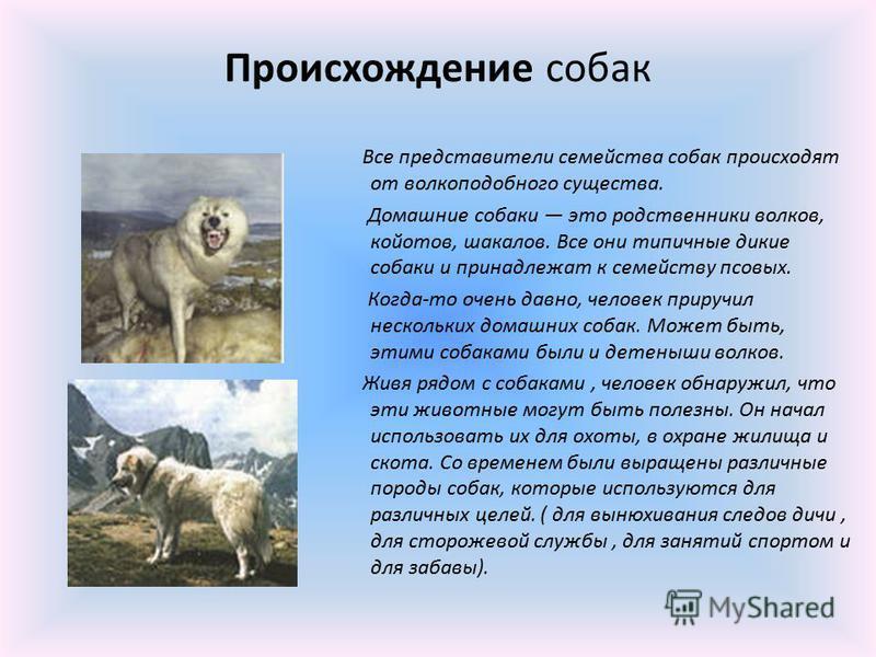 Все представители семейства собак происходят от волкоподобного существа. Домашние собаки это родственники волков, койотов, шакалов. Все они типичные дикие собаки и принадлежат к семейству псовых. Когда-то очень давно, человек приручил нескольких дома
