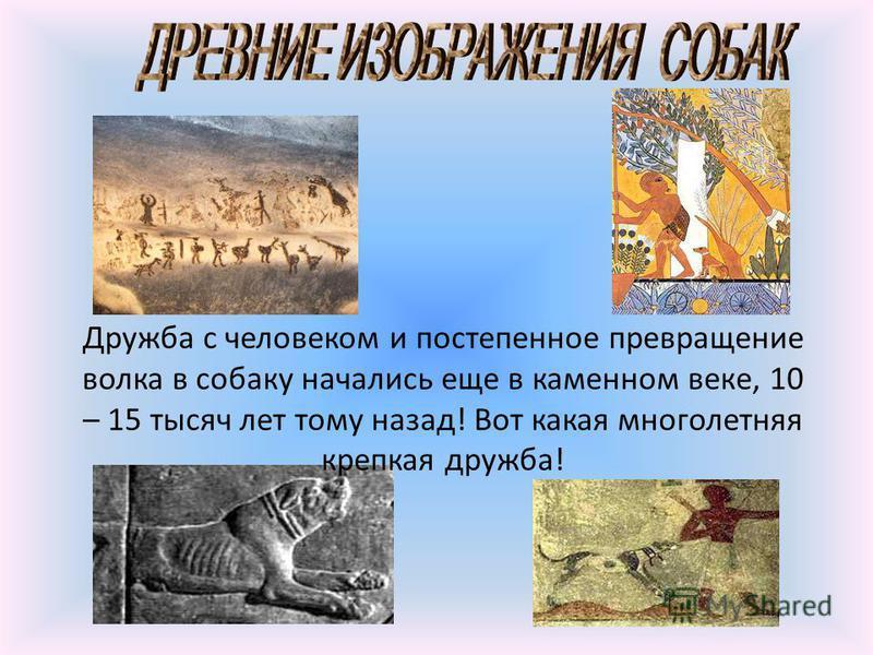 Дружба с человеком и постепенное превращение волка в собаку начались еще в каменном веке, 10 – 15 тысяч лет тому назад! Вот какая многолетняя крепкая дружба!