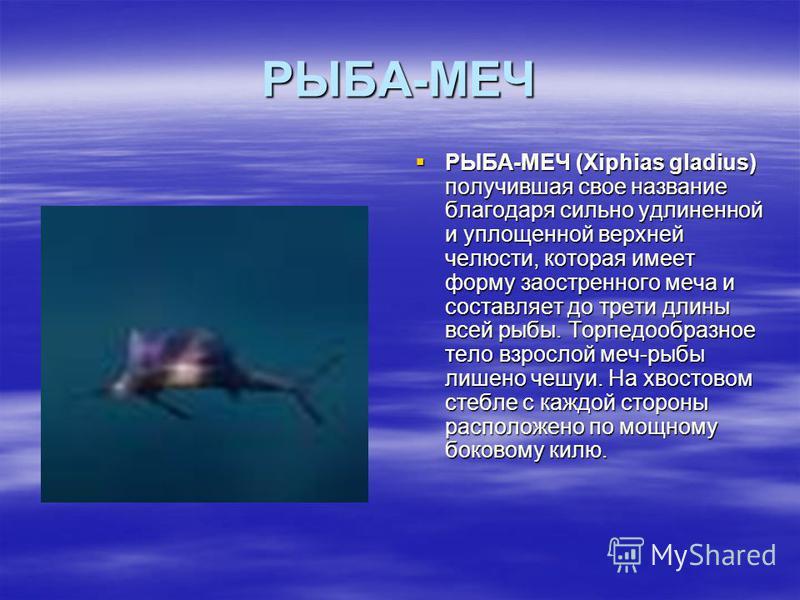 РЫБА-МЕЧ РЫБА-МЕЧ (Xiphias gladius) получившая свое название благодаря сильно удлиненной и уплощенной верхней челюсти, которая имеет форму заостренного меча и составляет до трети длины всей рыбы. Торпедообразное тело взрослой меч-рыбы лишено чешуи. Н