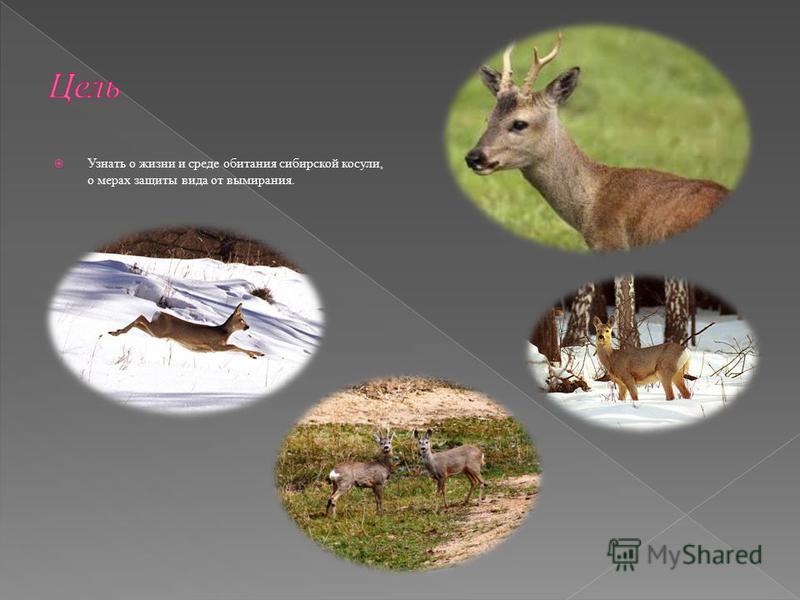 Узнать о жизни и среде обитания сибирской косули, о мерах защиты вида от вымирания.