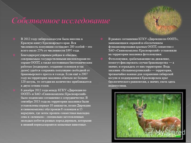 В 2012 году сибирская косуля была внесена в Красную книгу Красноярского края. Вся численность популяции составляет 280 особей – это всего около 25% от численности 1995 года. Благодаря регулярным рейдам и обходам, совершаемым государственными инспекто