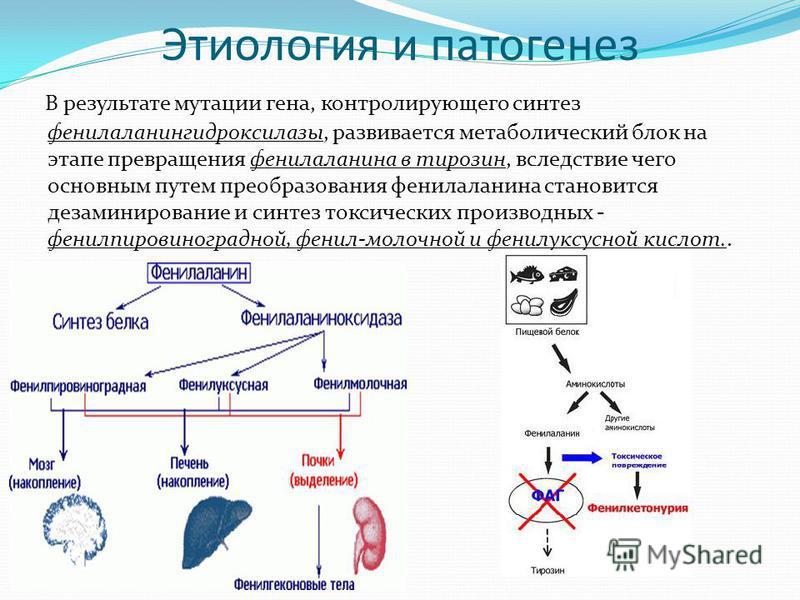 Этиология и патогенез В результате мутации гена, контролирующего синтез фенилаланингидроксилазы, развивается метаболический блок на этапе превращения фенилаланина в тирозин, вследствие чего основным путем преобразования фенилаланина становится дезами