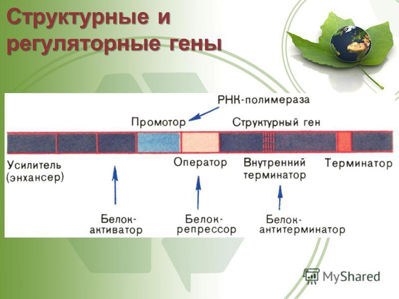 Структурные и регуляторные гены