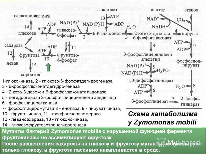 1-глюкокиназа, 2 - глюкозо-6-фосфатдегидрогеназа 3 - 6-фосфоглюконатдегидро-геназа 4 - 2-кето-3-дезокси-6-фосфоглюконатальдолаза 5 - дегидрогеназа 3-фосфо-глицеринового альдегида 6 - фосфоглицераткиназа 7- фосфоглицеромутаза 8 - енолаза, 9 - пируватк