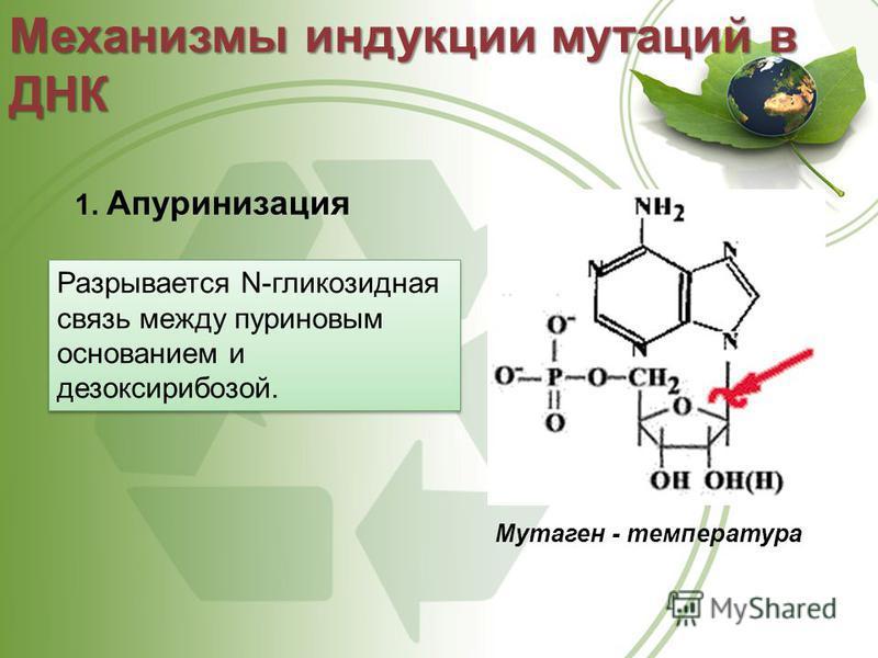 1. Апуринизация Механизмы индукции мутаций в ДНК Мутаген - температура Разрывается N-гликозидная связь между пуриновым основанием и дезоксирибозой.
