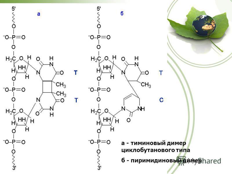 а - тиминовый димер циклобутанового типа б - пиримидиновый димер