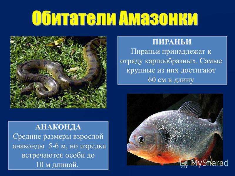 АНАКОНДА Средние размеры взрослой анаконды 5-6 м, но изредка встречаются особи до 10 м длиной. ПИРАНЬИ Пираньи принадлежат к отряду карпообразных. Самые крупные из них достигают 60 см в длину