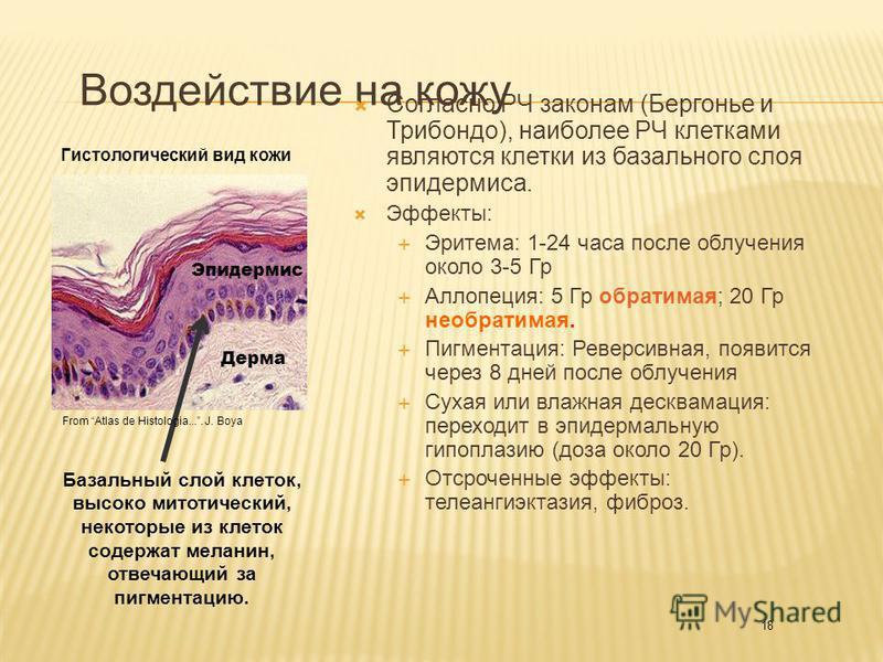 18 Воздействие на кожу Согласно РЧ законам (Бергонье и Трибондо), наиболее РЧ клетками являются клетки из базального слоя эпидермиса. Эффекты: Эритема: 1-24 часа после облучения около 3-5 Гр Аллопеция: 5 Гр обратимая; 20 Гр необратимая. Пигментация: