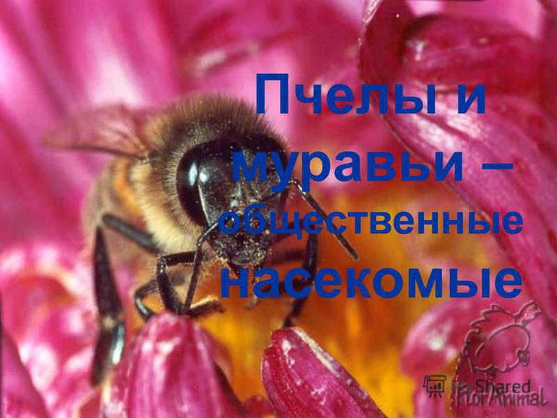 Пчелы и муравьи – общественные насекомые